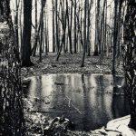 Waldauge